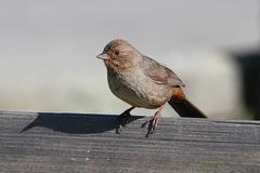 california (brown) towhee (pipilo crissalis) - stock photo