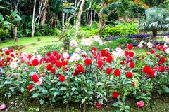 garden dahlias at mae fah luang garden,locate on doi tung,thailand - stock photo
