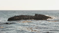 Brown Pelicans on Small Island Stock Footage