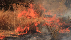 Close-up of grass burning and smouldering as a result of a large bush fire in a Stock Footage
