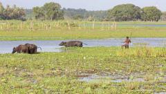 Man herding water buffalo through wetlands Stock Footage