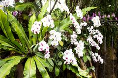 white orchid from mae fah luang garden,locate on doi tung,thailand - stock photo