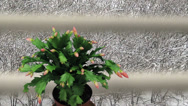 Stock Video Footage of Time-lapse of growing and blooming pink Christmas cactus snowing 1a