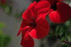 bright red geranium - stock photo