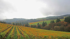 Vineyard with Grapes Bearing Vines with Fall Colors in Dundee Oregon 1920x1080 Stock Footage