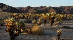 Cholla Cactus Garden  Stock Footage
