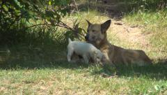 Stray, Abandoned Dogs, Homeless Mother Dog and her Puppies, Babies Stock Footage