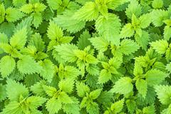 Stinging nettle, urtica dioica Stock Photos