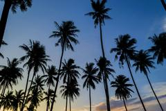 coconut tree silhouette with sunset background - stock photo