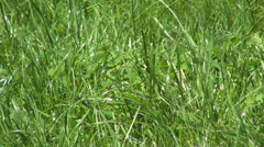 Green Grass Blowing the Wind, Fresh Spring Lawn, Meadow in Breeze Stock Footage