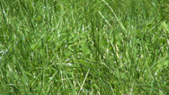 Stock Video Footage of Green Grass Blowing the Wind, Fresh Spring Lawn, Meadow in Breeze