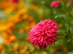 aster on a flowerbed - stock photo