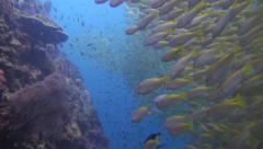 School of yellow snapper Stock Footage