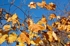 yellow and scarlet leaves on a grapes bush - stock photo