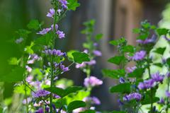 Beautiful purple geranium flower Stock Photos