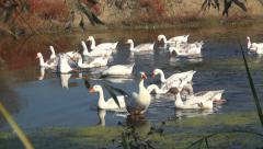 Goose, Flock of Geese Swimming on a River in Delta, Birds in Natural Environment Stock Footage