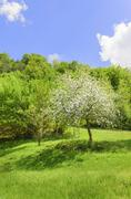 tree in spring with white blossoms - stock photo