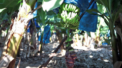 Banana plantation next to Pafos, Cyprus Stock Footage