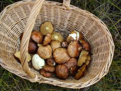 Picking wild mushrooms 2 - stock photo