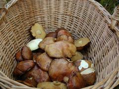 Picking wild mushrooms - stock photo