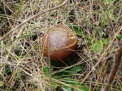 Wild mushroom in the grass 2 Stock Photos