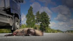 An animal raccoon dog mostly been hit and the big empty truck Stock Footage