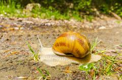 Stock Photo of crawler snail. creeper snail after rain on the grass. helix pomatia.