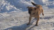 Stock Video Footage of Barking Stray Dog in Winter, Abandoned Animal in Cold, Frost, Vagabond in Street
