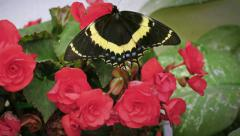 Black butterfly Stock Footage
