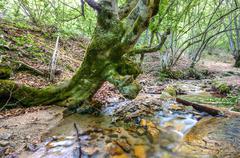 Oak tree bending over spring flowing water Stock Photos