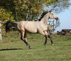 Nice kinsky horse running in autumn Stock Photos