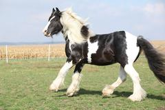gorgeous stallion with long flying mane - stock photo