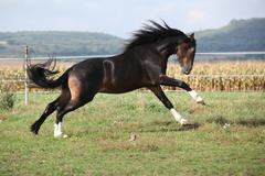 Welsh part bred stallion jumping Stock Photos