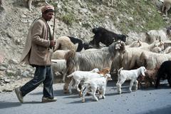 Himalayan shepherd leads his goat and sheep flock Stock Photos