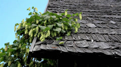 Walnut tree touching the roof and a butterly Stock Footage
