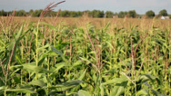 Young corn stalks in a big corn field Stock Footage