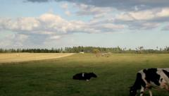 Open field of haystacks and cows on hay filed Stock Footage