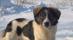 Stray Dog in Winter, Abandoned Animal in Cold, Frost, Vagabond in Street Stock Footage