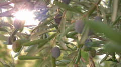 Olive tree close up Stock Footage