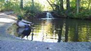 Stock Video Footage of Mallard and Black Bird