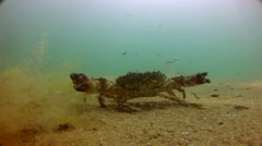 Crab move in Black sea Stock Footage