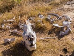 skull of large rhino in the grass in zimbabwe - stock photo
