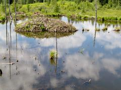 taiga wetlands beaver lodge castor canadensis - stock photo