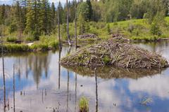 Stock Photo of castor canadensis beaver lodge in taiga wetlands