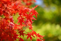 Japanese maple background Stock Photos