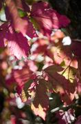 Purple/red leaves illuminated by Sun, partly in shadow, autumn Stock Photos