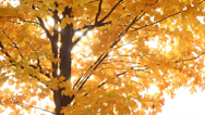 Stock Video Footage of Autumn Maple Tree