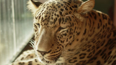 4k. Sleepy leopard. Shot with red camera. Stock Footage