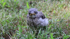 Baby Mocking Bird Stock Footage