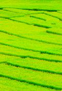 rice agriculture plant in thailand - stock photo